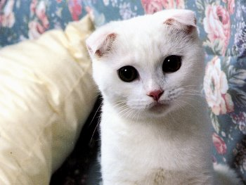 Oh, a cute Scottish Fold kitty! I wonder if Tech Tabby and she will get along?